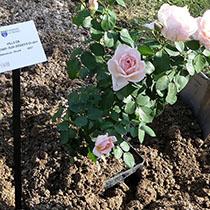 Dans les coulisses des concours de roses
