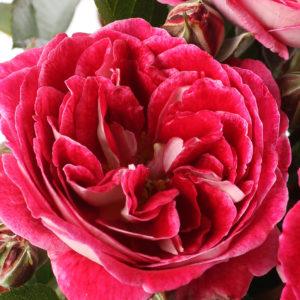 """Baptême de la rose """" ABBATIALE DE PONTIGNY ® """""""