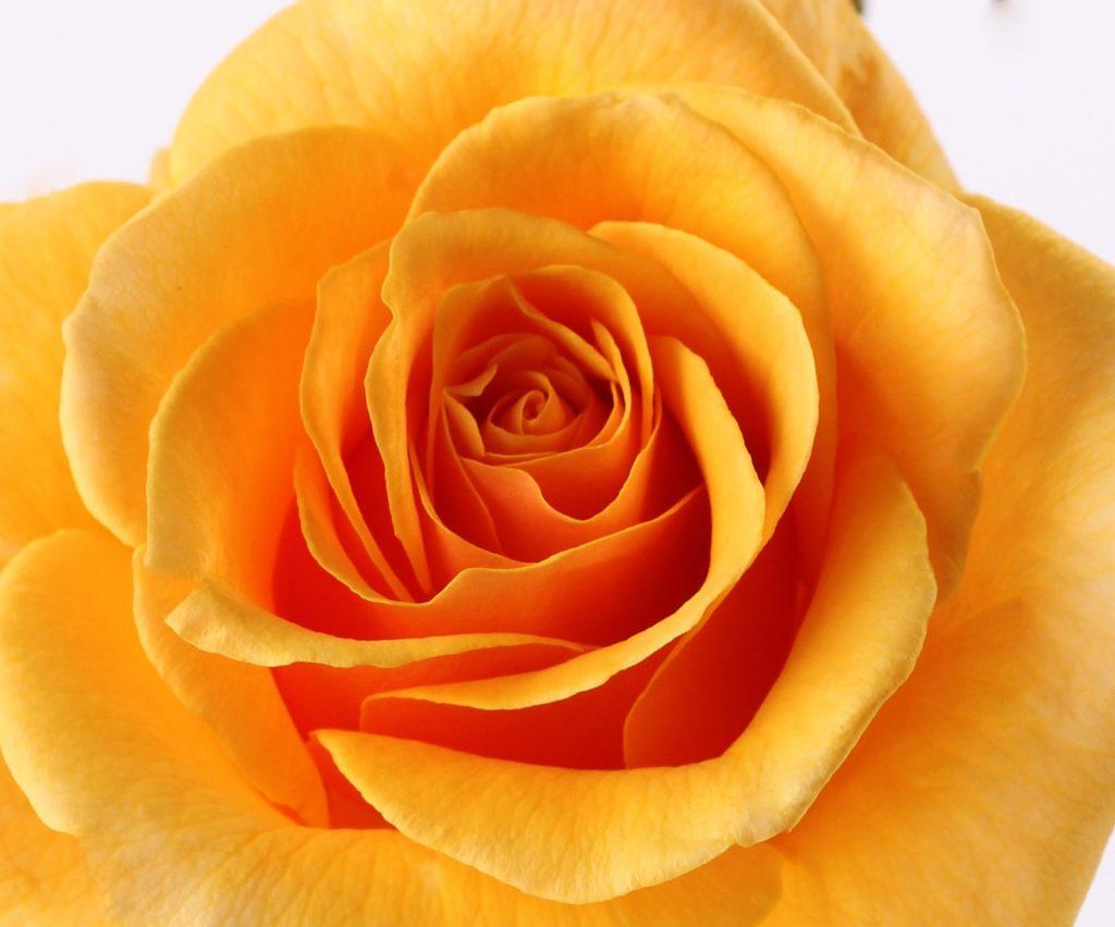 ROSE ALLEYSON ® Ora 295-08