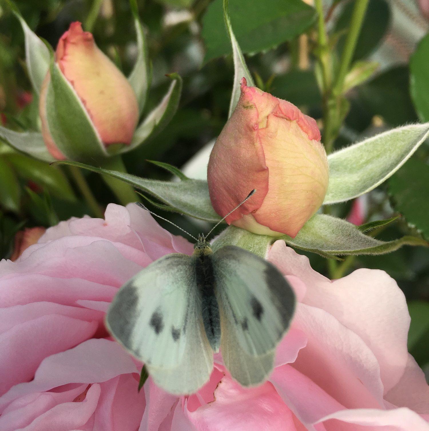 Papillon sur semis de l'année