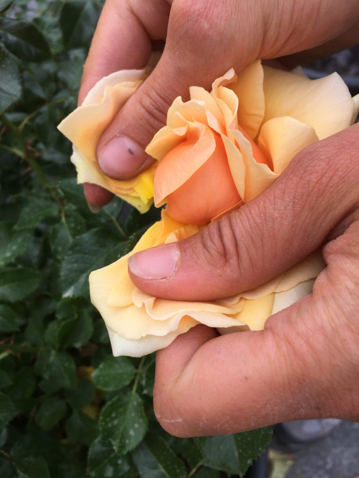 Etapes Pollinisation