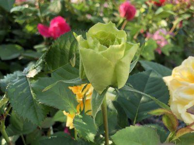 Floraison semis