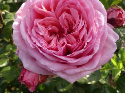 rosier-grimpant-roses-orardbis